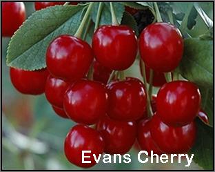 Ripe cluster of cherries