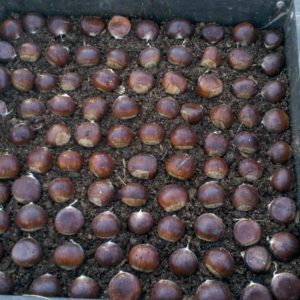 Seed chestnuts placed in sprouting tray.