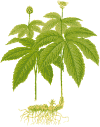 Goldenseal plant showing rhizome