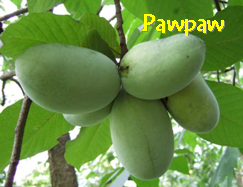 Pawpaw cluster
