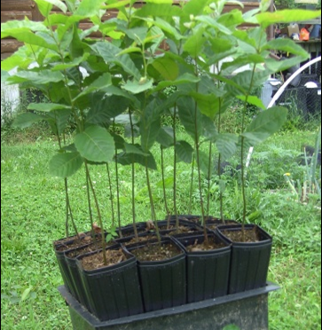 Ordering Chestnut Seedlings for 2020 can Begin!