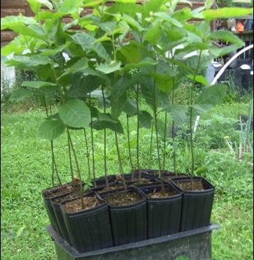 Ordering Chestnut Seedlings for 2020 can Begin!