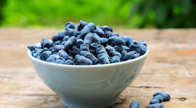 Honeyberries – A New Crop for the Midwest?
