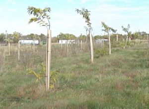 young trees in 5 foot tall tree shelters