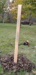 5 foot tall tree shelter on seedling