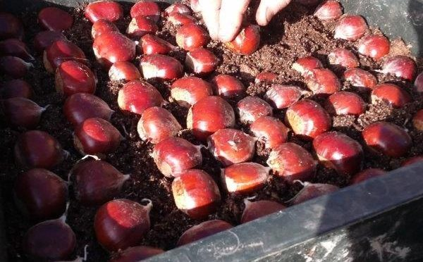 Chestnut Seed Nuts available again for November  2018