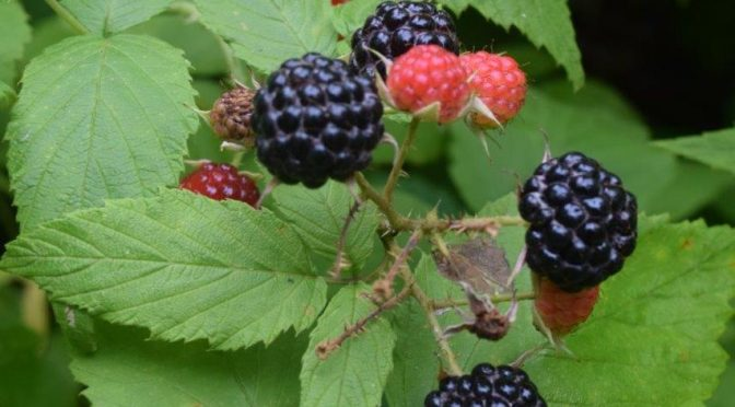 Black Raspberry You-Pick – New this year!