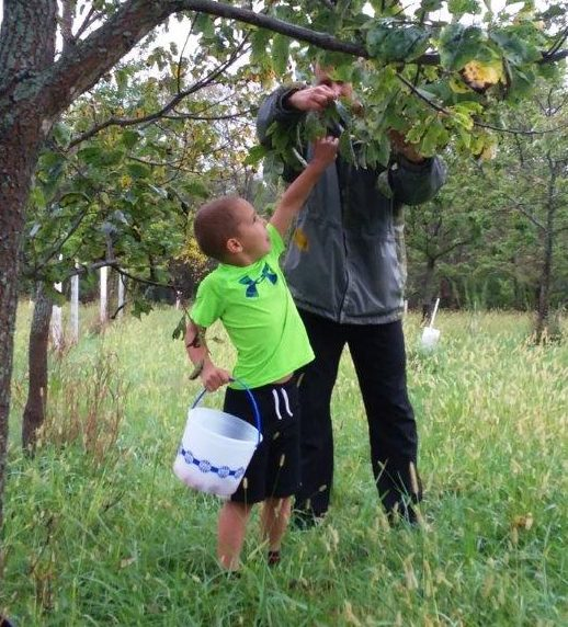 Son and father harvest American persimmons